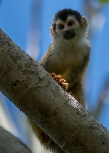 Central American squirrel monkeys - Costa Rica.