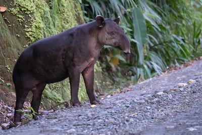 Baird's Tapir - Costa Rica.
