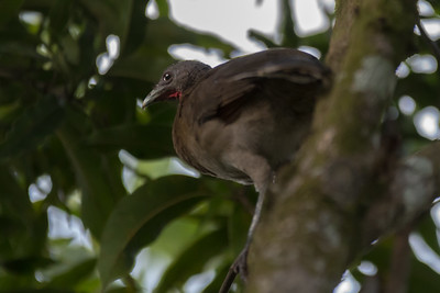 Gray-headed chachalaca at Crocodile Bay Resort - Costa Rica.