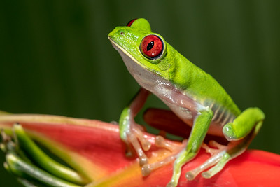 Red-eye tree frog at Crocodile Bay Resort - Costa Rica.