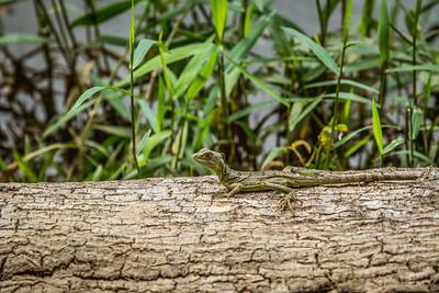Sunning Gecko