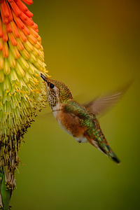 Feeding on Hot Poker Flower