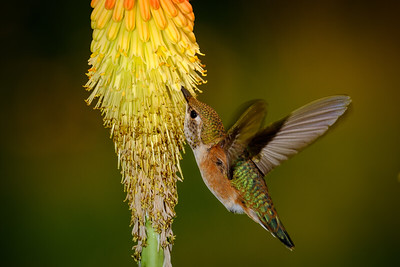 Young Rufus Hummingbird