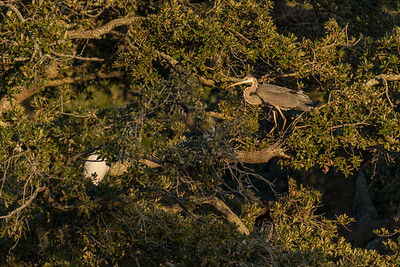 A great blue heron enjoys the late-afternoon sunshine as a white egret huddles below.  Can you see the dark anhinga in the lower-right?