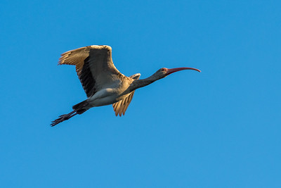 A wood stork lifts off at Kiawah Island.
