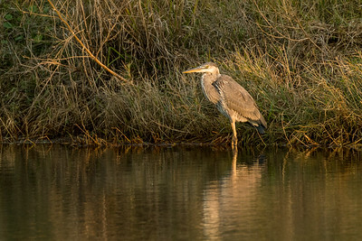 A great blue heron enjoys the late-afternoon sunshine on the shores of a Kiawah Island lagoon.