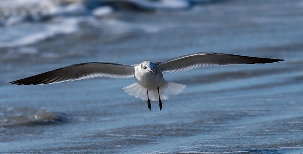 Seagull comes in for a landing on the beach at Kiawah, South Carolina.