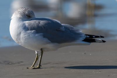 Seagull on the beach at Kiawah, South Carolina. Interestingly, this fellow has only one foot.