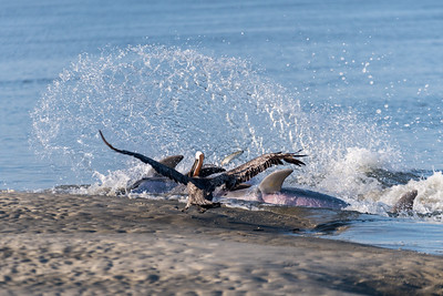 A pelican tries to snag fish from bottle-nosed dolphins that were strand feeding at Kiawah Island, SC.