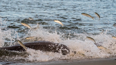 Fish leap to escape Bottle-nosed dolphins strand feeding at Kiawah Island.