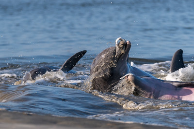 Bottle-nosed dolphins strand feeding at Kiawah Island.
