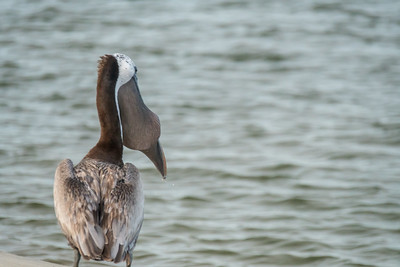 A pelican chokes down a fish - one he snatched during the dolphins' strand-feeding at Kiawah Island.