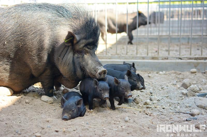 At the pig pen