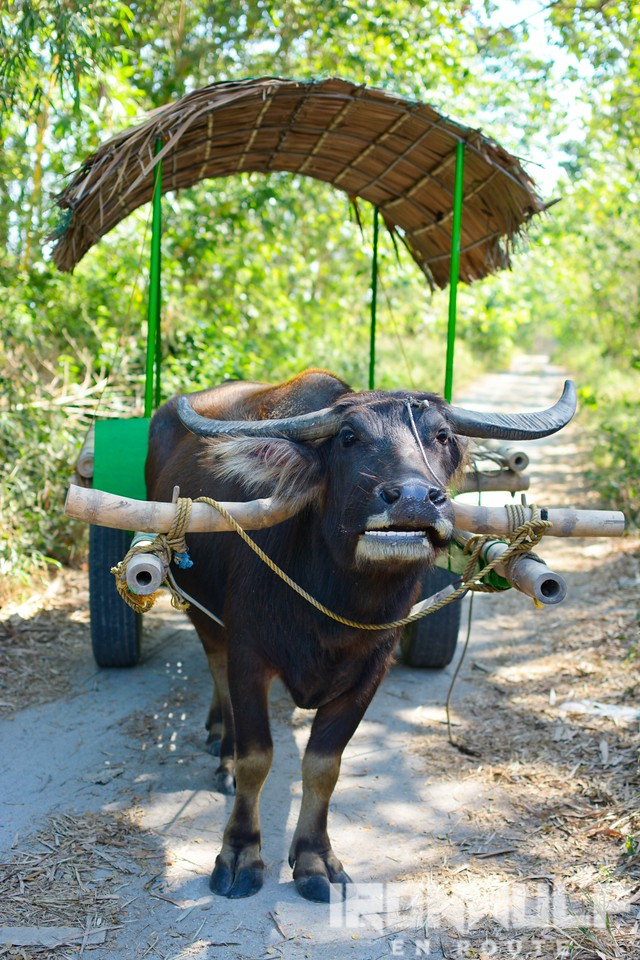 Our ever hardworking water buffalo pulling our ride, Manilyn