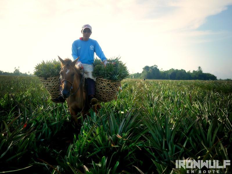 #SailEast Ormoc's Queen Pineapple Harvest Scene