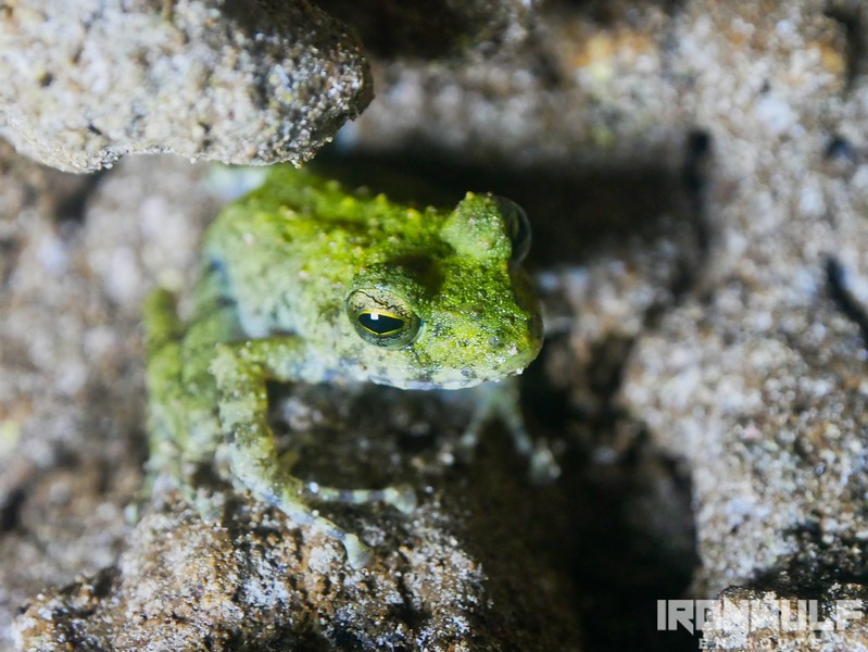 A frog specie living inside the cave