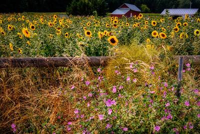 Farmstead with Sunflowers
