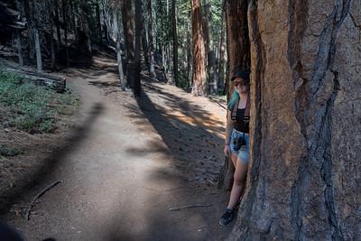 Mara ducks inside a Giant Sequoia - Mariposa Grove of Giant Sequoias, Yosemite National Park.