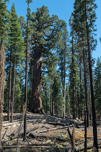 "A sequoia known as ""the grizzly giant"" - notice the people along the fence - at the Mariposa Grove of Giant Sequoias, Yosemite National Park."