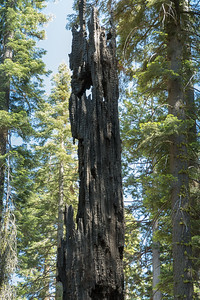 Fire is a natural part of life in the Mariposa Grove of Giant Sequoias, Yosemite National Park.