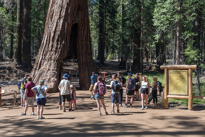 The California Tunnel Tree in Mariposa Grove of Giant Sequoias, Yosemite National Park.