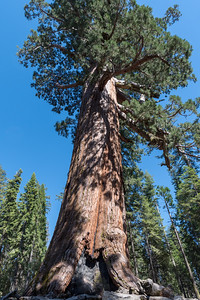 "The ""Grizzly Giant"" in Mariposa Grove of Giant Sequoias, Yosemite National Park."