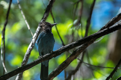 Steller's Jay on the Yosemite Falls trail.