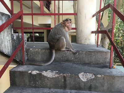 A monkey with his mouth full, near the new IISc supermarket.