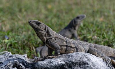 Iguana at Tulum historic site; coast of the Yucatan peninsula, Mexico.