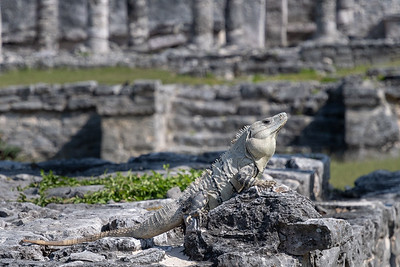 Iguana at Tulum historic site; coast of the Yucatan peninsula, Mexico.