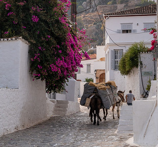 A man with three mules delivers a large cargo of hay to some destination in Hydra, Greece.