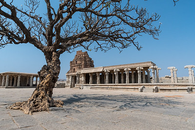 An ancient, flowering tree inside Vitthala Temple. Hampi.