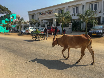 A cow strolls down the street in Kamalapur, near Hampi.