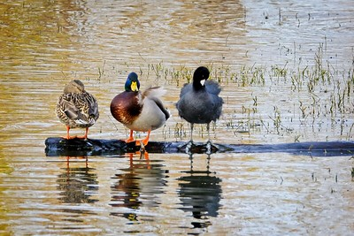 Two Mallards and a Coot