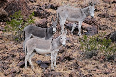 Burros at Craggy Wash, AZ