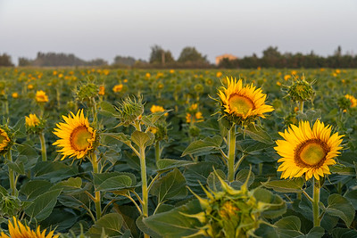 Sunrise awakens sunflowers, Maillane, Provence.