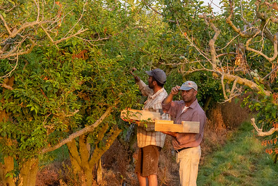 Farm workers pick apricots, Maillane, Provence.