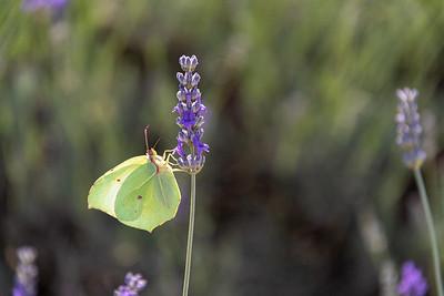 Butterfly in lavender, Les Baux de Provence.