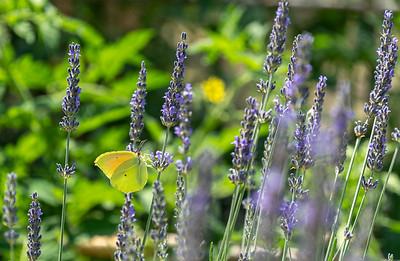Butterflies in lavender plants - Provence.