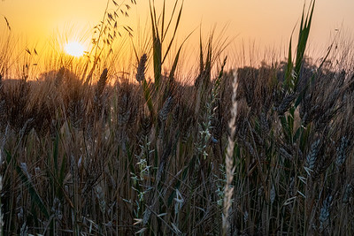 Sunrise over wheat field, Maillane, Provence.