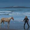 Welsh Pony COB Type - North Sunderland Beach - Nr Seahouses - Northumberland (November 2019)