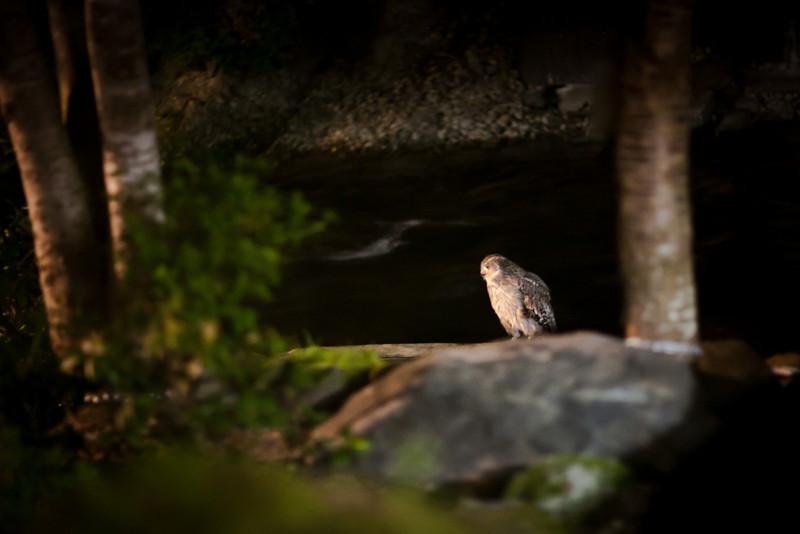 養老牛温泉だいいち名物シマフクロウの「ご出勤」 - Blakiston's fish owl (an endemic species) - Yoroushi Spa, Hokkaido, July 2010<br /> 120羽しか生存していないらしい。そのうちの2羽。生簀の魚を食べに毎夜8時ごろになると現れる。今夜は1時間遅いご出勤。