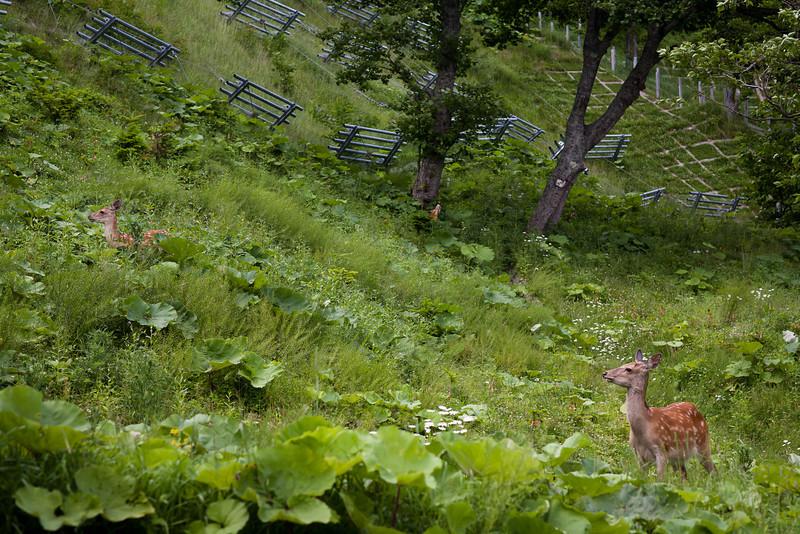 人里まで降りてくつろいでいる鹿(人間を見ても全然逃げない)- Shiretoko, Hokkaido, July 2010