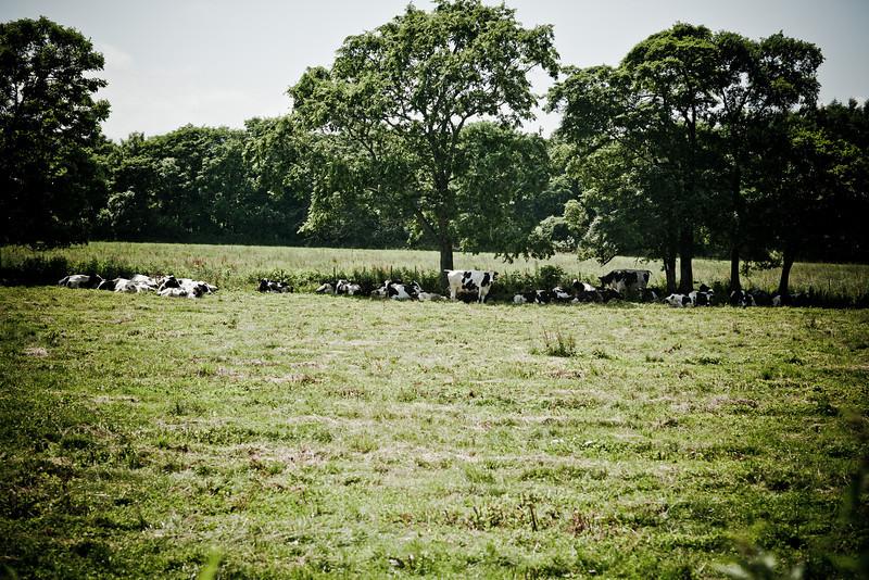 養老牛(の近く)の放牧牛 。だらだらしている - Hokkaido, July 2010