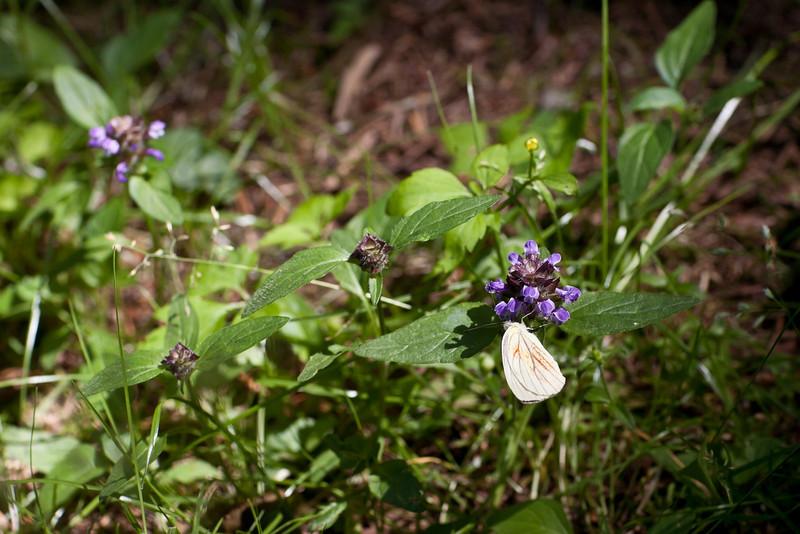 夏の蝶チョ - Hokkaido, July 2010