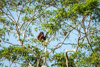 APE - orangutan-0045