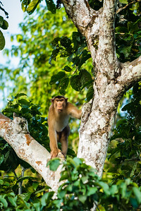 MONKEY - macaque - pigtail male-9800