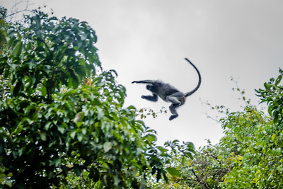 MONKEY - langur silver leaf jumping-0460