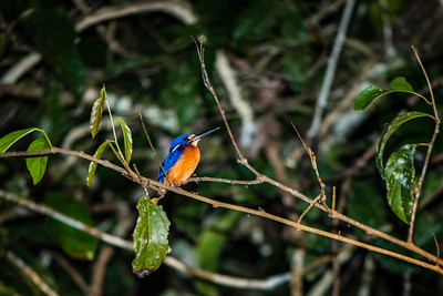 BIRD - kingfisher blue earred -9954