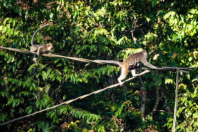 MONKEY - macaque - longtail - crossing river -0103